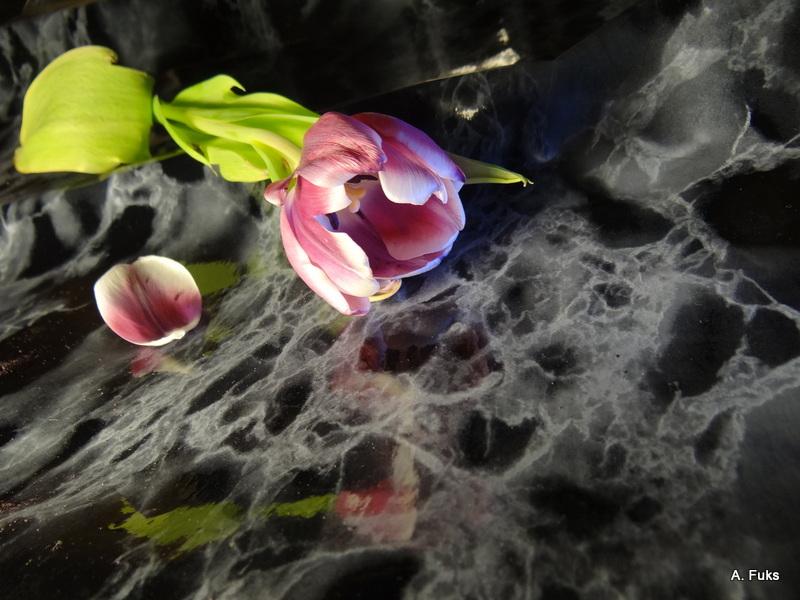 Фото натюрморта - Тюльпан