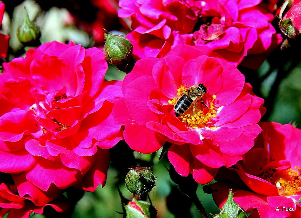 Роза-пчела
