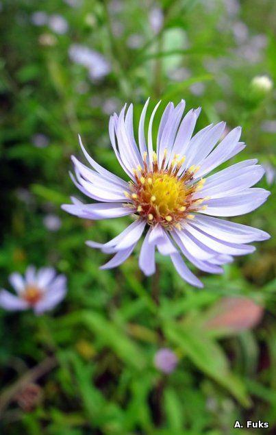 Ромашка — Альбом Цветочки
