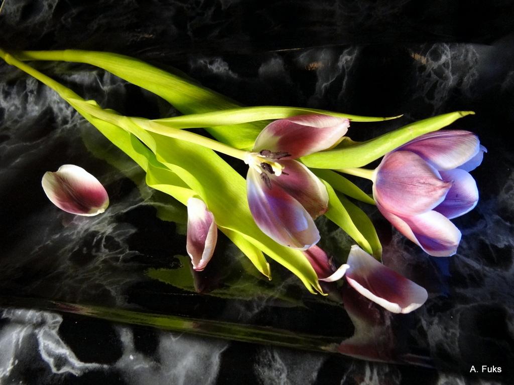 Тюльпаны - фото